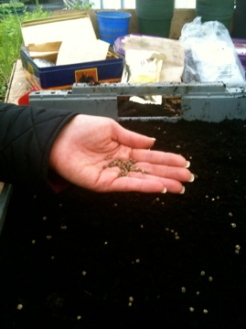 spreading seeds on the tray evenly